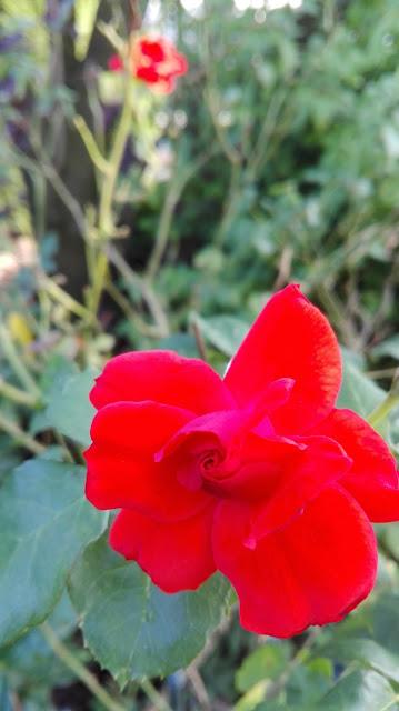 Rode roos, net bloeiend
