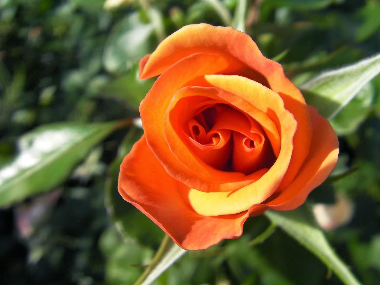 Los cuidados de las rosas en oto o portal jard n jard n for Jardin rosa alcoy