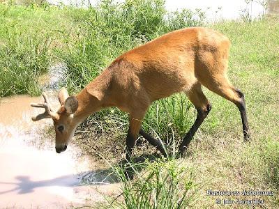 Ciervo de los pantanos Blastocerus dichotomus