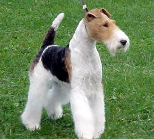 Fox Terrier | Libros de Veterinaria
