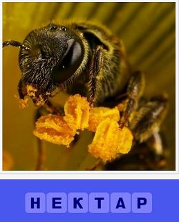 пчела на цветке и собирает нектар