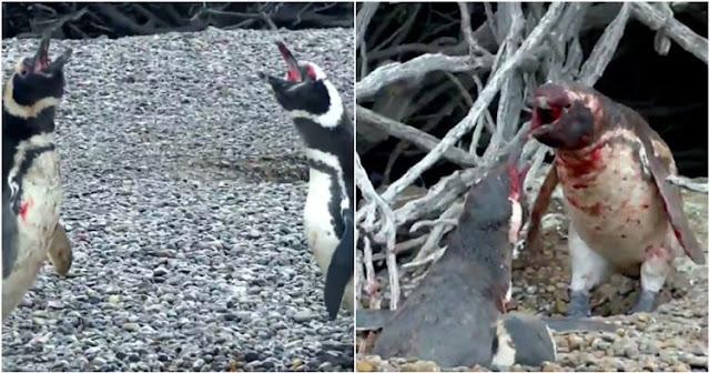 Video - Hewan Aja Tau Setia , Penguin Jantan ini Hajar Selingkuhan Istrinya Sampai Berdarah Darah, Endingnya Bikin Nyesek