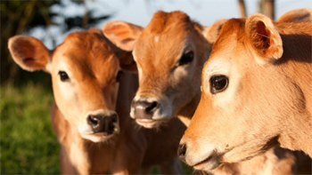 image of three ginger calves standing together in a field