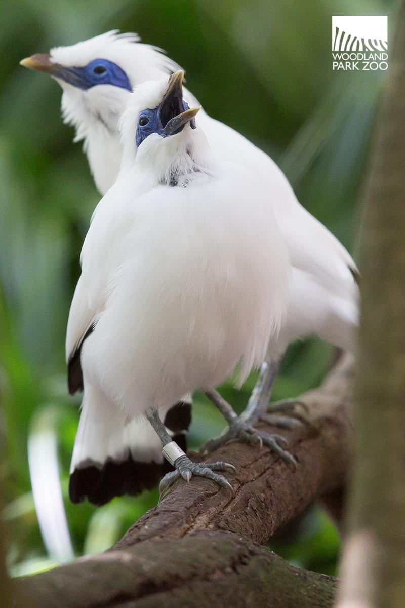 Woodland Park Zoo Blog: First Bali mynah chicks to hatch ... - photo#34