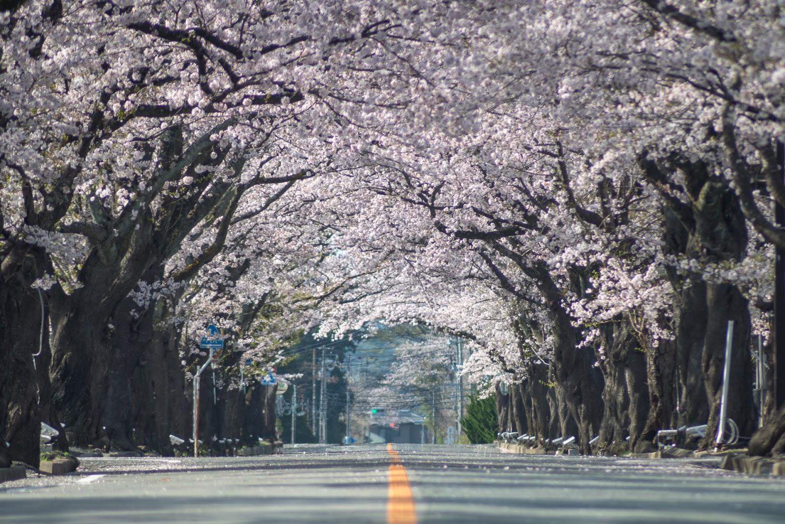 夜ノ森の桜並木