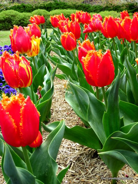 tulips at Tulip Top Gardens
