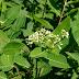 এপোসাইনাম ক্যানাবিনাম ( Apocynum Cannabinum) [ পশ্চিম ভারতীয় শন, হেম্প ]