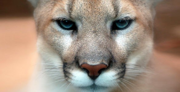 Cougars' diverse diet helped them survive mass extinction