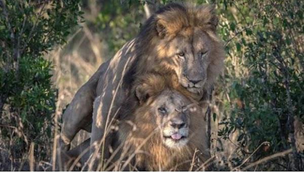 El gobierno cree que los leones macho que tuvieron relaciones están poseídos y necesitan terapia