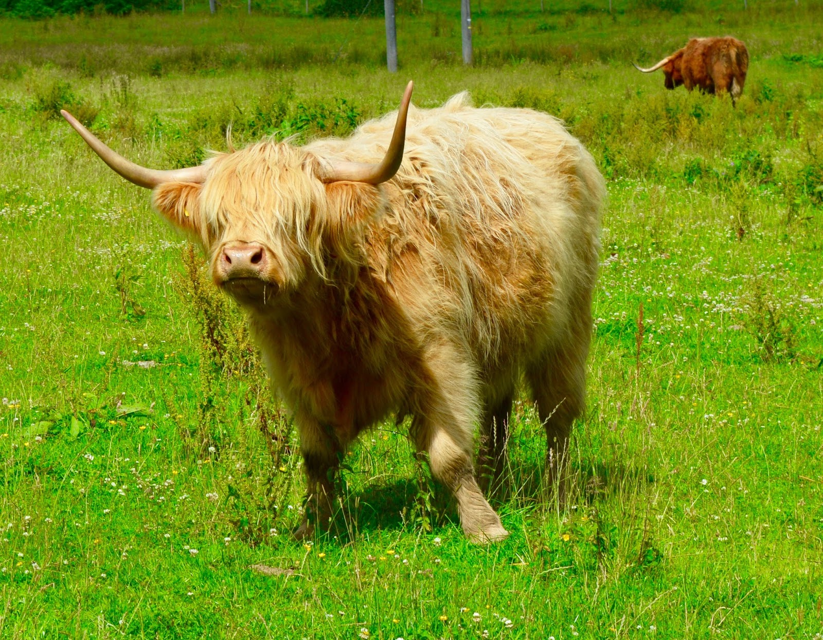 Is it Time to Emigrate? - moving to Scotland. Highland Cow
