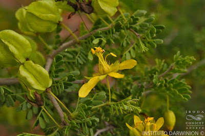 monte negro Bulnesia schickendantzii