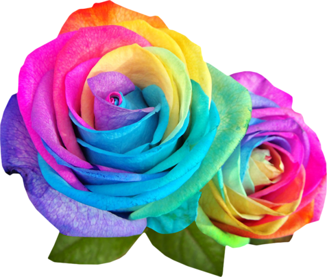 Forgetmenot rainbow multicolor flowers for Where to get rainbow roses