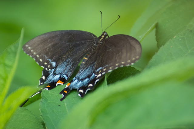 Spicebush Swallowtail, Clear Creek Natural Heritage Center