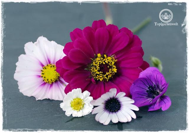 Gartenblog Topfgartenwelt Buchvorstellung Das 5-Pflanzen Prinzip - Genial einfach gestalten: Blumenbeetgestaltung mit Cosmea, Zinie, Storchenschnabel, Mutterkraut und Kapkörbchen blühen noch