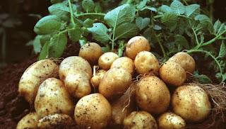 PT Indofood Tertarik dengan Produk Kentang dari Pollung