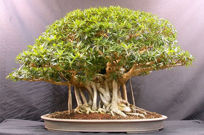 How To Make Banyai Bonsai In Small Pot Enduragon Info