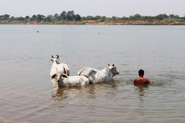 Cows in the Mekong river, Phnom Penh, Cambodia - travel blog