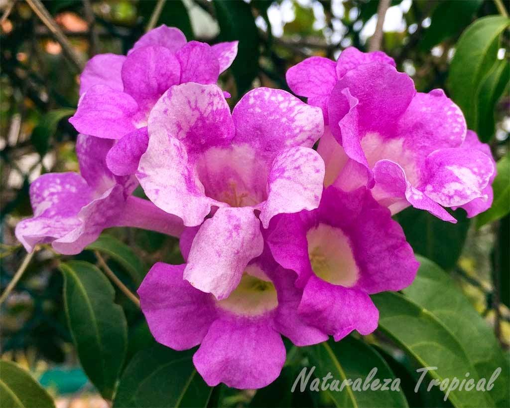 Flores del Ajo Sacha o flor de ajo, Mansoa alliacea