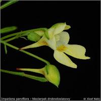 Impatiens parviflora - Niecierpek drobnokwiatowy