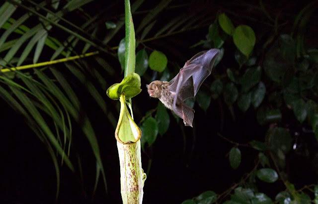 Um morcego lanoso de Hardwicke voa em um buraco de Nepenthes. (Foto: Divulgação/ Netflix)