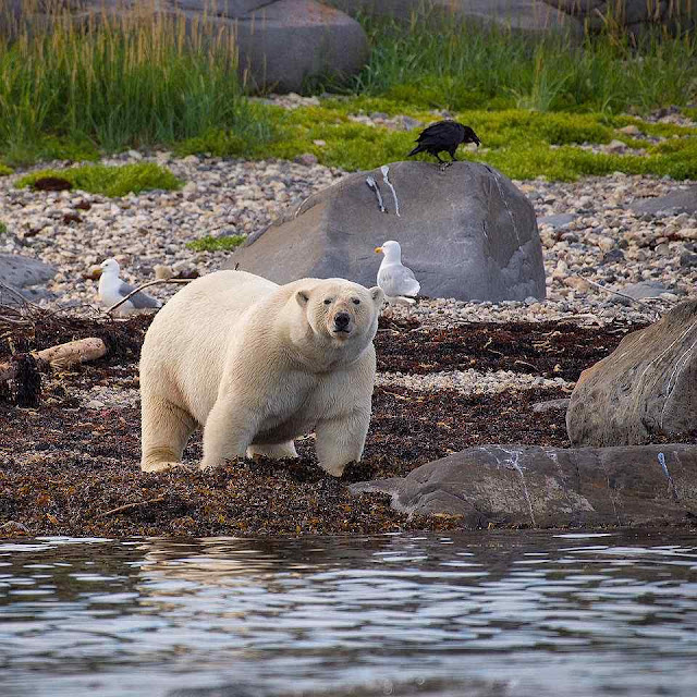 Urso polar em Churchill. Foto de Alex De Vries.