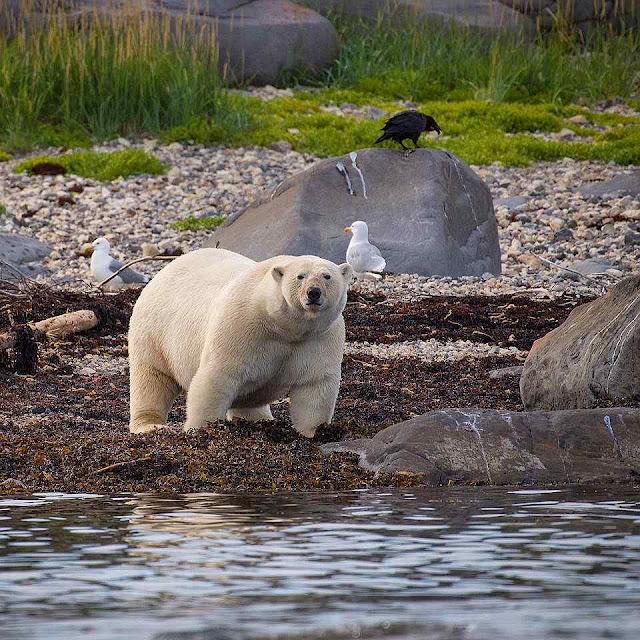 Urso polar em Churchill. Foto de Alex De Vries.