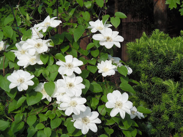 białe kwiaty powojnika