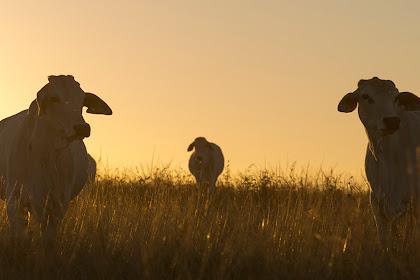 Tantangan Pengembangan Ternak di Daerah Lahan Kering