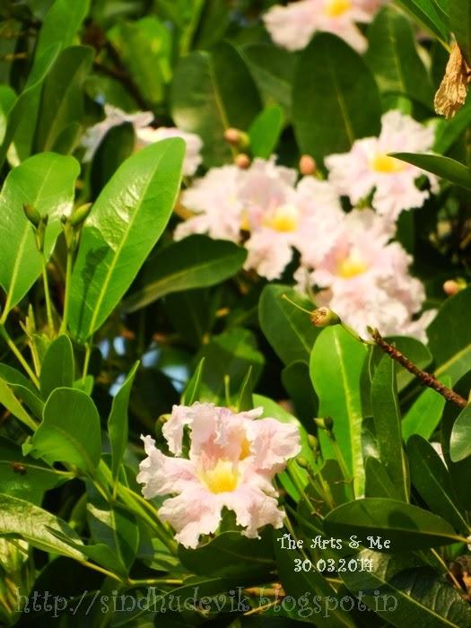 Tabebuia Rosea or Basanth Raani Flowers
