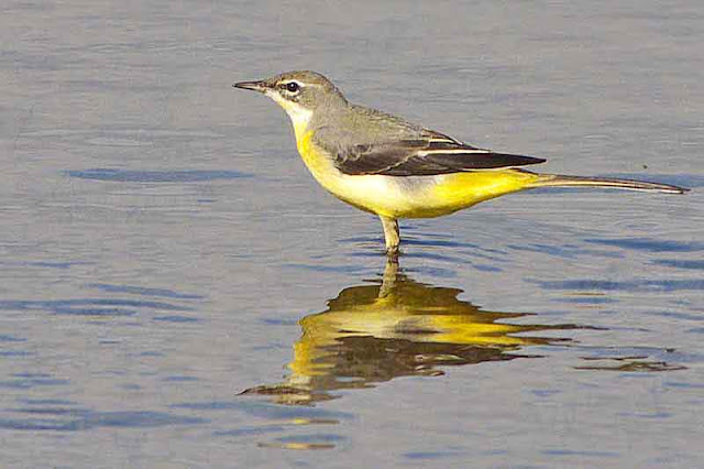 reflection,water,bird, yellow wagtail
