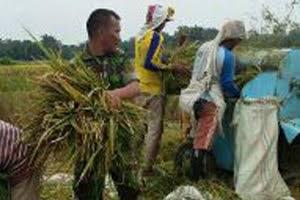 Bersama PPL, Babinsa Praka Adi Syahputra Damping Petani Panen Padi