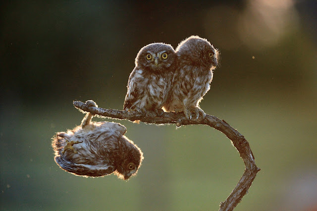 Winner of Amazing Internet Portfolio Price for Tibor Kerccz For His Sequence of 4 Owls Images