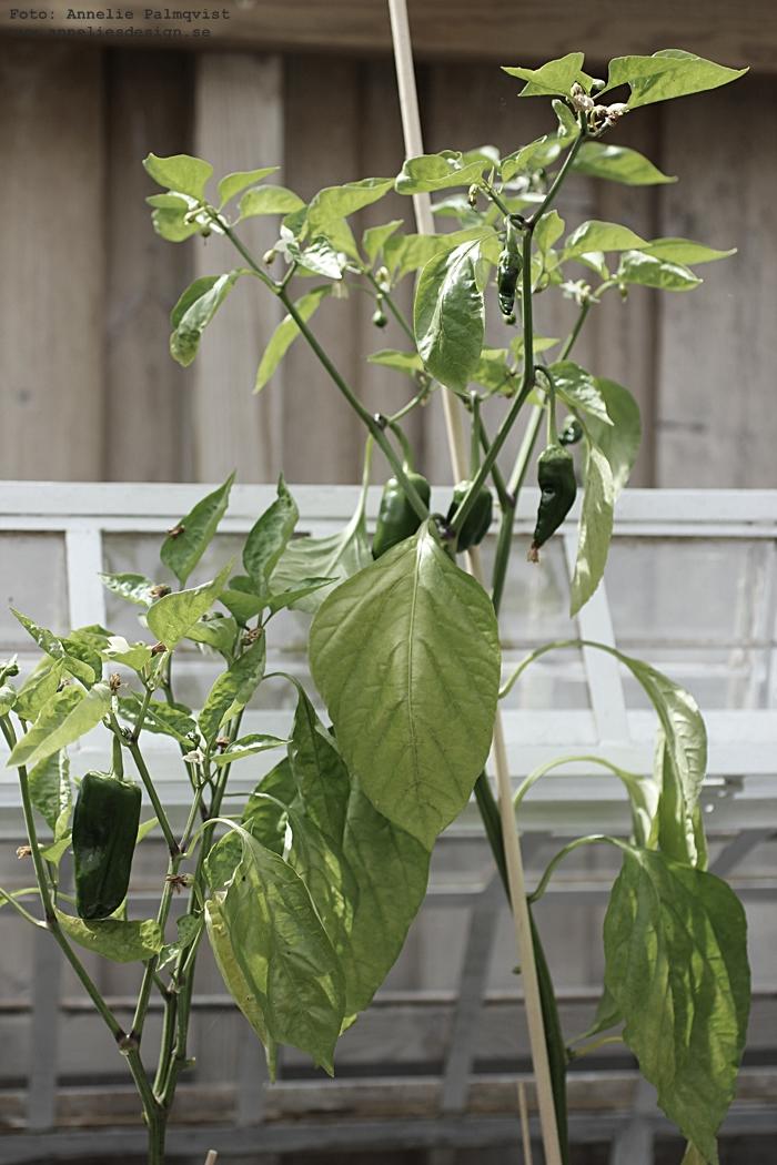 paprika, paprikor, plantor, planta, uteplats, växthus, miniväxthus,