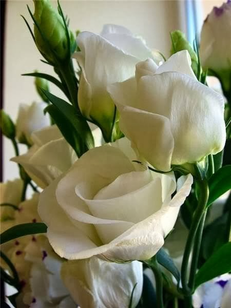 happy white rose wallpaper