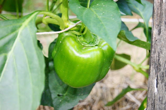 Green Bell Peppers in the Garden Image