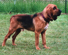 Bloodhound-pets-dogs-dog breeds