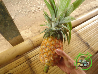 FOTO 1 :  Mahkota Nanas belum dipisahkan dari buah Nanas.