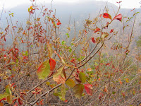 Poison oak on Van Tassel Ridge in Fish Canyon, Angeles National Forest
