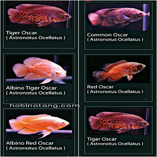 Jenis Ikan Oscar dan Harganya