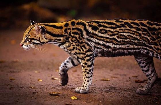 21 Spesies Kucing Yang Anda Tidak Pernah Lihat 21 Foto
