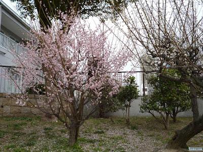 高津公園の梅