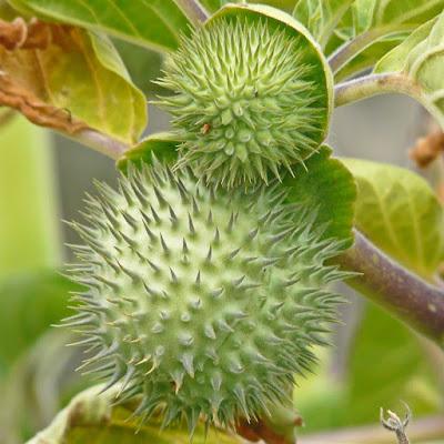 Kecubung mempunyai nama ilmiah spesies datura fastuosa Jual buah kecubung