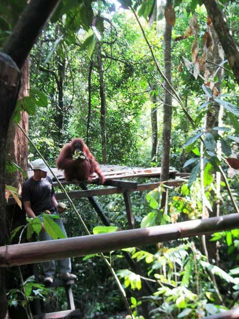 orangutan feeding point taman nasional gunung leuser