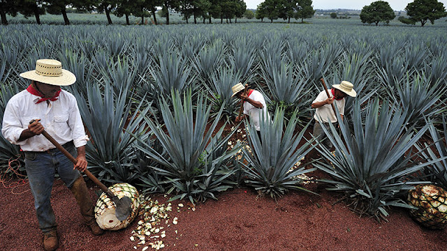 El tequila Agave