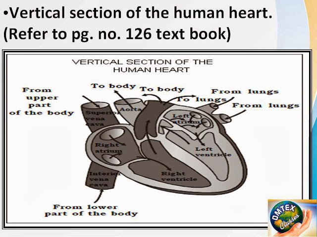 OMTEX CLASSES: Vertical section of the human heart. Diagram