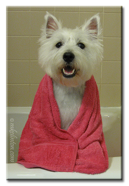 Pierre the Westie in bathtub with shoulders wrapped in pink towel