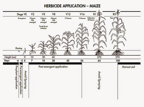 Pagsasaka sa Bayan ni Juan: Growth Stages of Corn