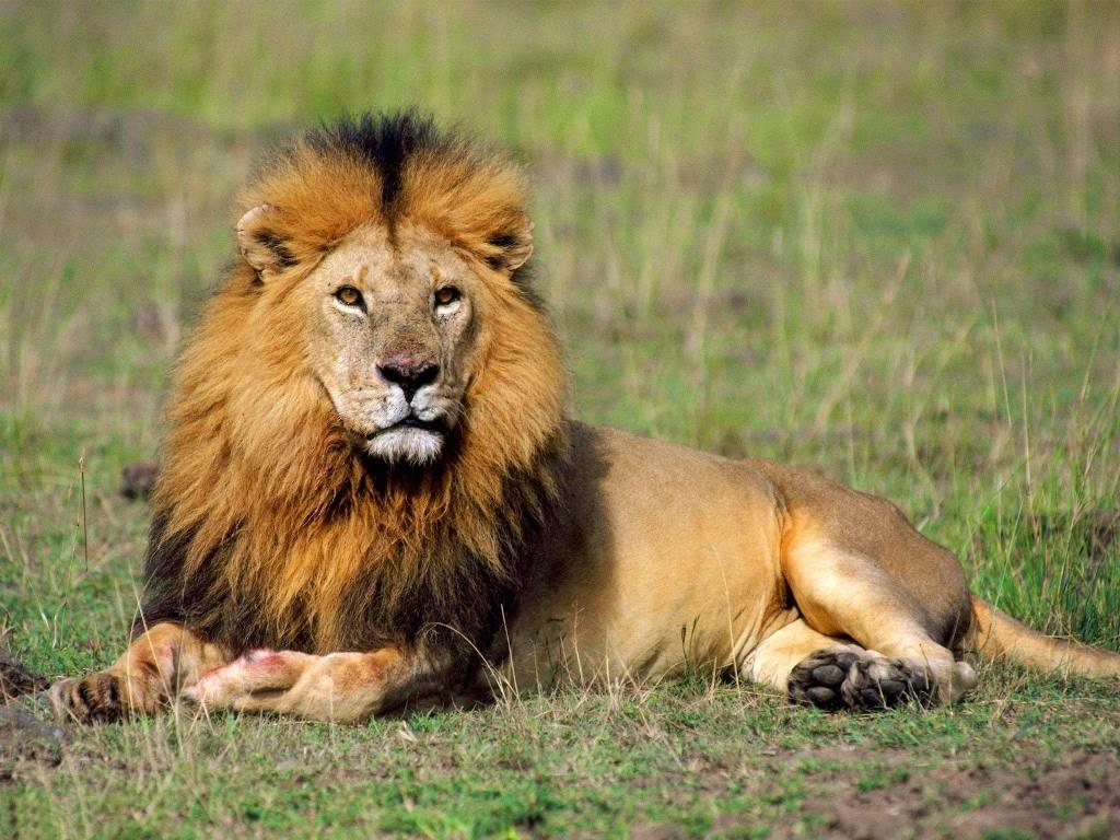 Gambar Singa Dunia Binatang