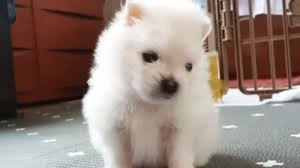 Pomeranian puppy howls when owner whistles
