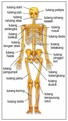 Hasil gambar untuk pentingnya rangka bagi tubuh manusia